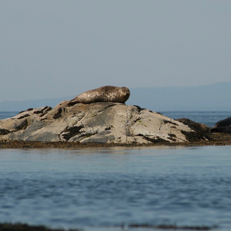 Glenuig Inn Sound of Arisaig Harbour Seals