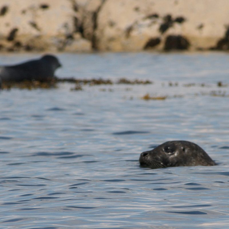 Glenuig Inn - Arisaig Harbour Seals
